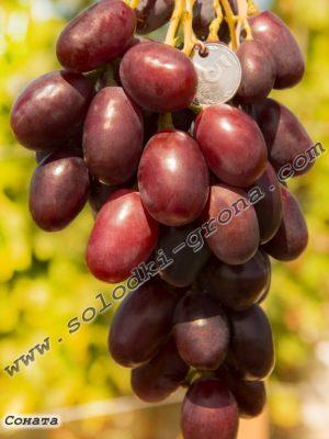 виноград Соната / Sonata