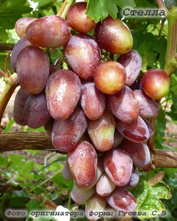 виноград Стелла