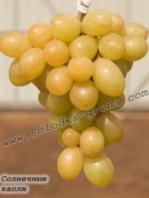 виноград Сонячні краплі