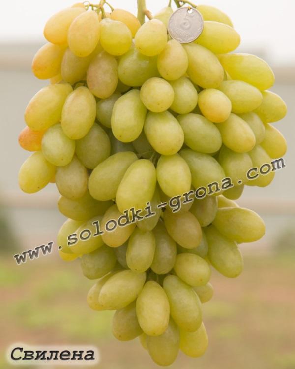 виноград Свілена