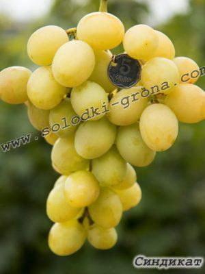 виноград Сіндікат