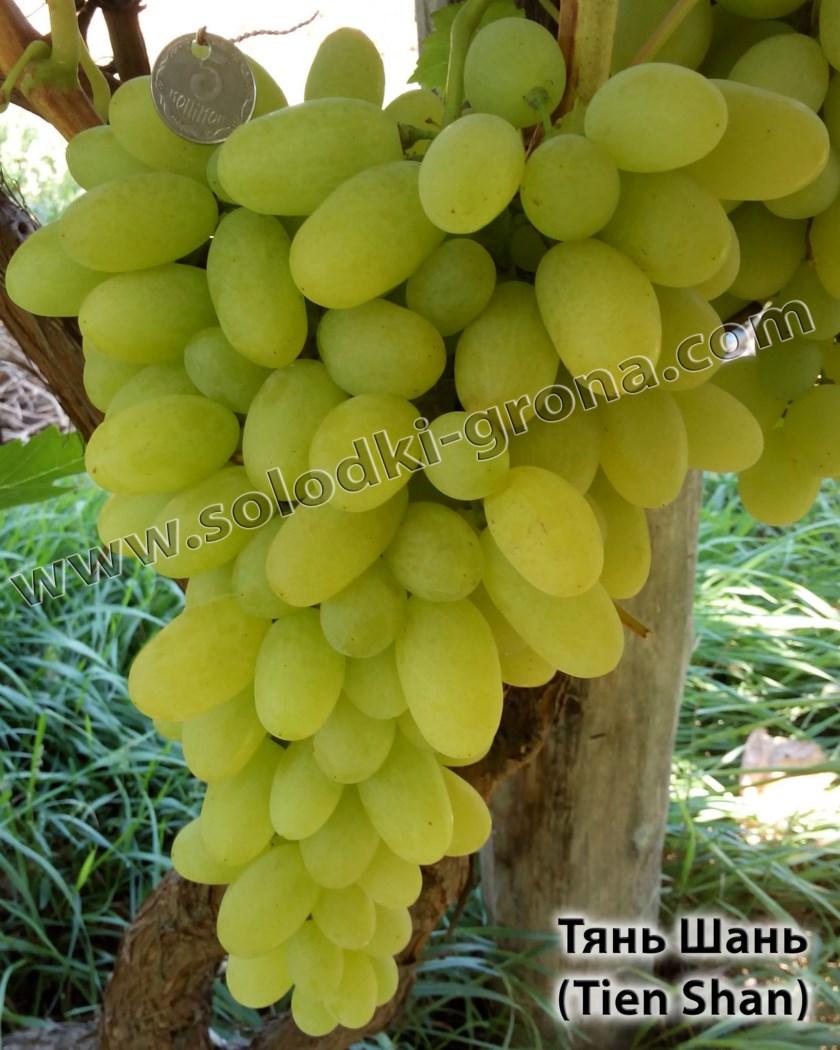 виноград Тянь Шань