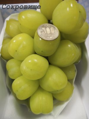 виноград Скарб / Treasure