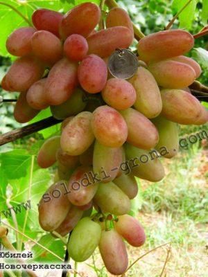 виноград Ювілей Новочеркаська