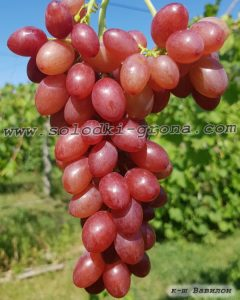 виноград Вавілон