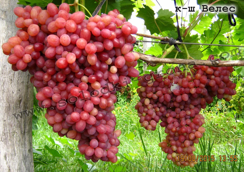 подбора виноград кишмиш велес описание сорта фото кремового оттенка виду