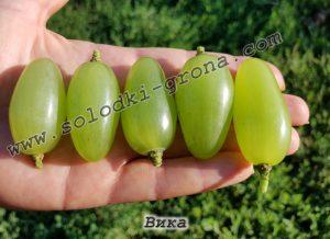 виноград Віка