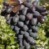 виноград Вітро блек