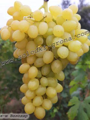 виноград Володар