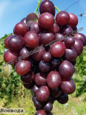 виноград Воєвода