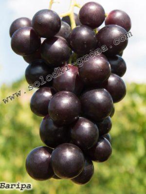 виноград Багіра / Bagheera