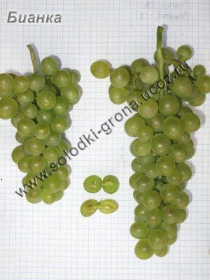 виноград Біанка / Bіanka
