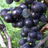 виноград Фуджи мінорі