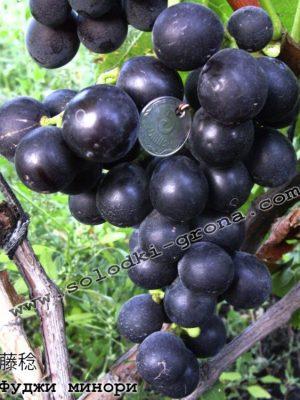 виноград Фуджи мінорі / Fuji Minori
