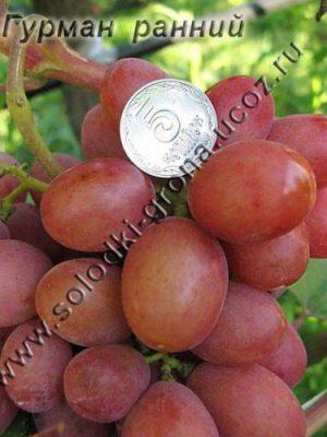 виноград Гурман ранній / Gourmet early
