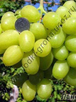 виноград Ландиш