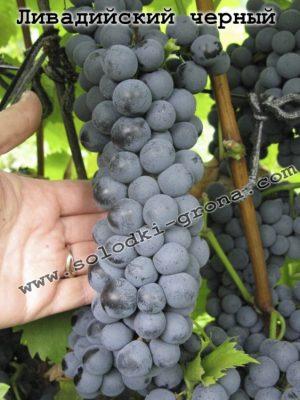виноград Лівадійський чорний