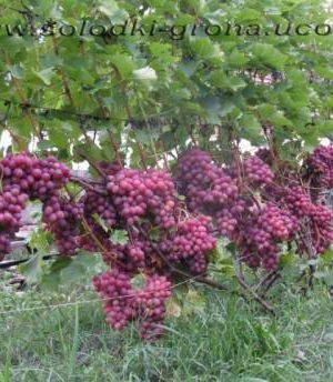 виноград Лівія / Libya
