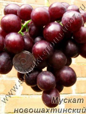виноград Мускат Новошахтинський