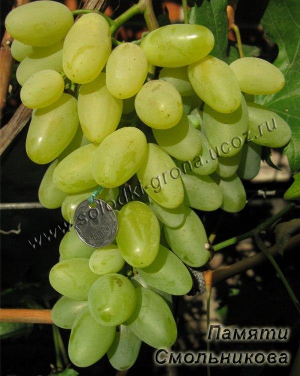 виноград Пам'яті Смольникова