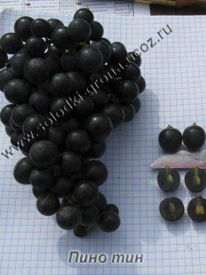 виноград Пінотін