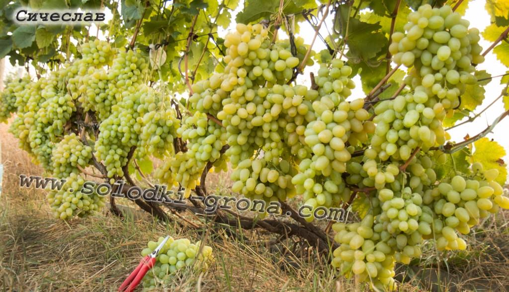 виноград Січеслав
