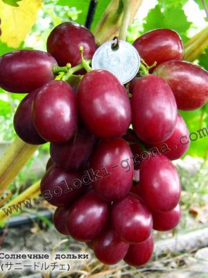 виноград Сонячні дольки / Dolce sunny