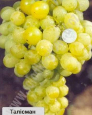 виноград Талісман