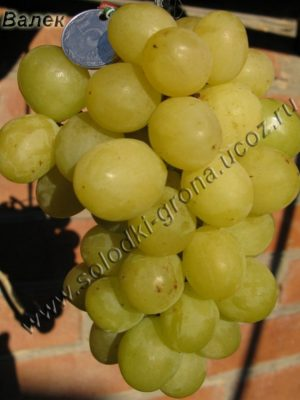 виноград Вальок