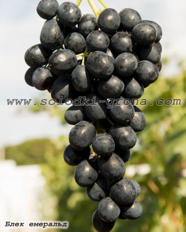 виноград Блек емеральд