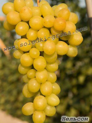 виноград Нельсон / Nelson