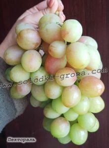виноград Пектораль