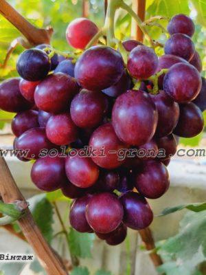 виноград Вінтаж / Vintage