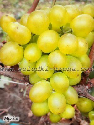 виноград Мрія / Dream