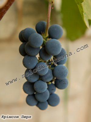 виноград Крімсон Перл / Crimson Pearl