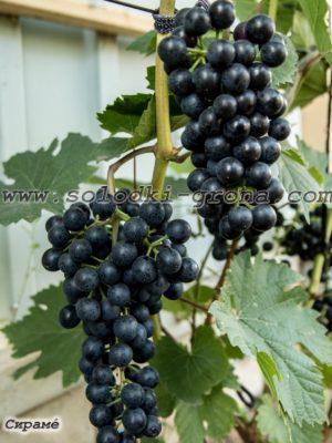 виноград Саломе (Сірамé) /  Siramé