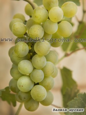 виноград Валвін мускат / Valvin Muscat