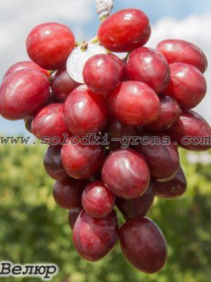 виноград Велюр / Velour