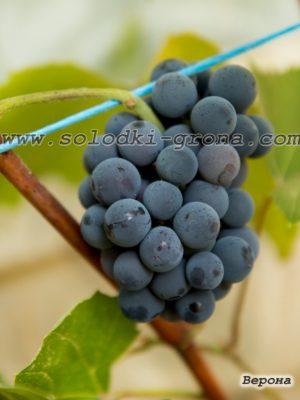 виноград Верона / Verona