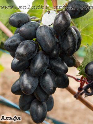 виноград Альфа / Alpha