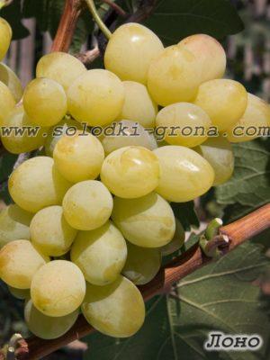 виноград Лоно / Bosom
