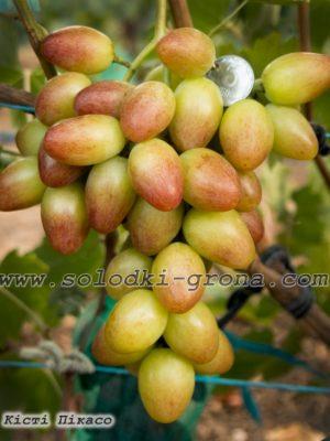 виноград Кісті Пікасо / Brush Picasso
