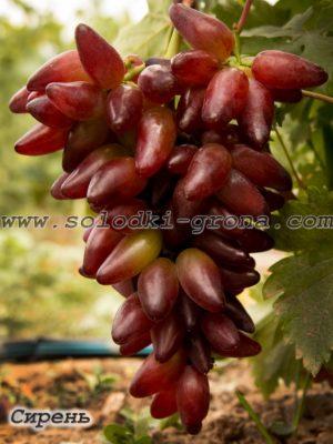 виноград Сірєнь