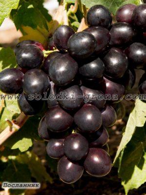 виноград Посланник
