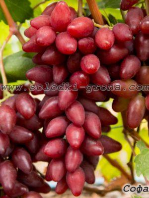 виноград Софа / Sofa