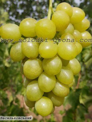 виноград Васильковський