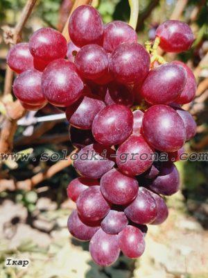 виноград Ікар / Icar