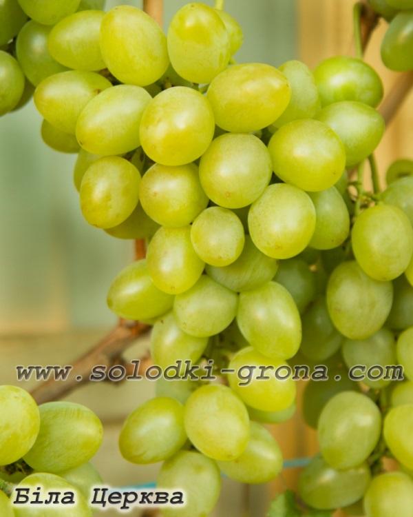 виноград Біла Церква