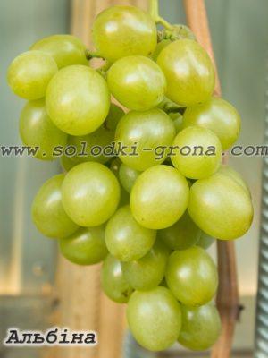 виноград Альбіна / Albina