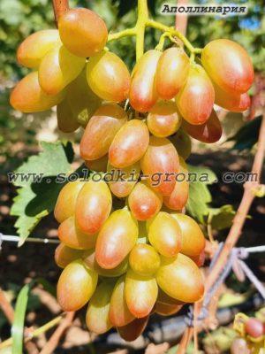 виноград Аполлінарія / Apollinaria